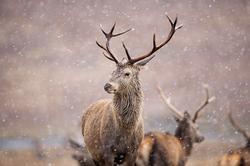 hert in de sneeuw